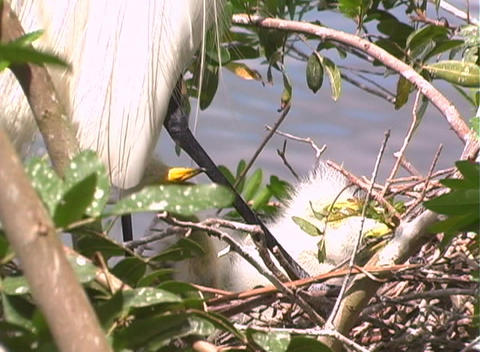 Florida Egrets-3 Stock Video Footage