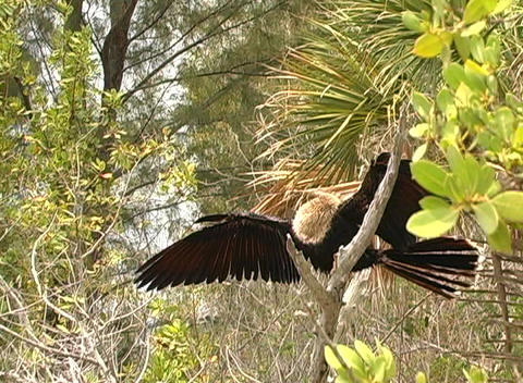 Anhinga (2) Stock Video Footage