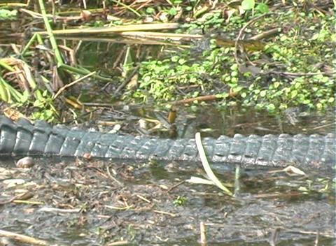 Gator 2 Stock Video Footage