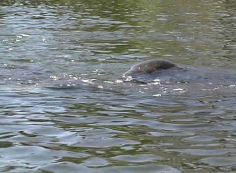 Manatee 2 Stock Video Footage
