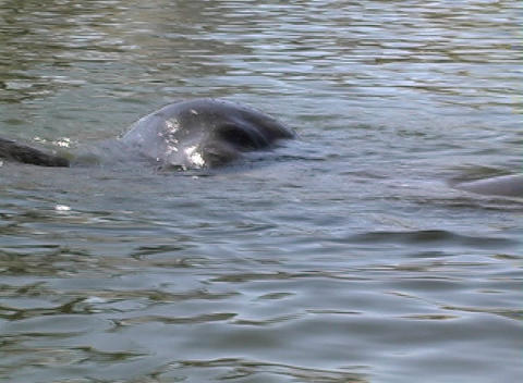 Manatee 4 Stock Video Footage