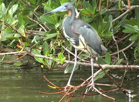 Mangrove Bird Footage