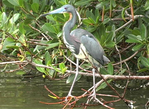 Mangrove Bird Stock Video Footage