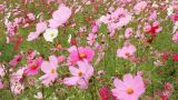 Cosmos Flowers With Butterfly stock footage