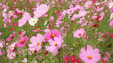 Cosmos Flowers with Butterfly Footage