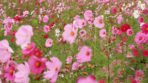 Cosmos Flowers with Butterfly Stock Video Footage