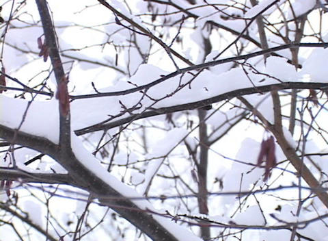 Snow-covered Tree Branches Footage
