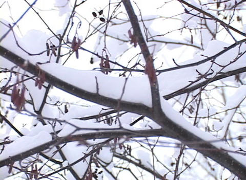 Snow-covered Tree Branches Stock Video Footage