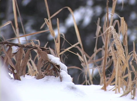 Snow-covered Grass Close-up 3 Stock Video Footage