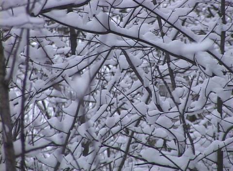 Snow-covered Trees Limbs, Rack Focus Stock Video Footage