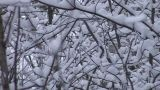 Snow-covered Trees Limbs, Rack Focus stock footage