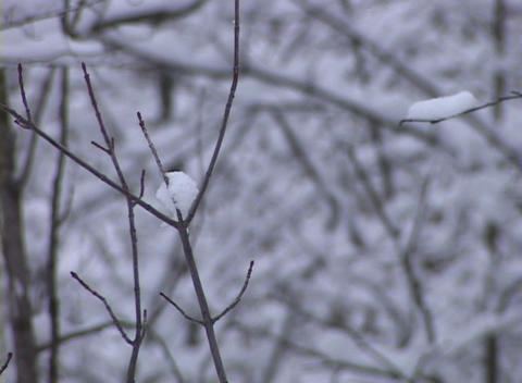Snow-covered Trees Limbs, Rack Focus Stock Video Footage