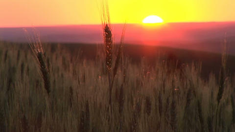 Sunset over a wheat field Footage