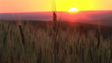 Sunset Over A Wheat Field stock footage