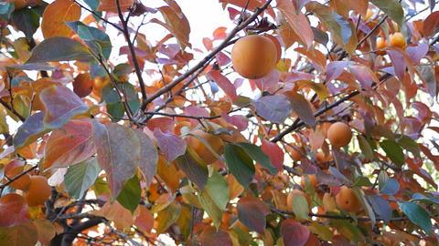 Asian persimmon tree Stock Video Footage