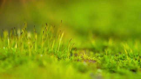 Moss, Close-Up Stock Video Footage