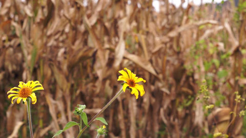 Dry Corn with Yellow Flowers Dolly Stock Video Footage