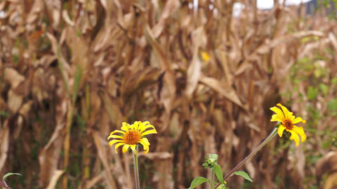 Dry Corn with Yellow Flowers Dolly Footage