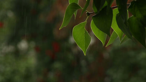 Lilac leaves Stock Video Footage