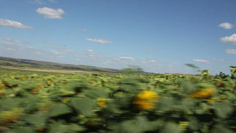 The car in a field of sunflowers Footage