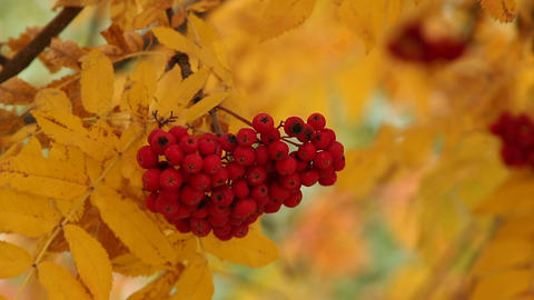 Bunch of the red and yellow leaves of mountain ash Stock Video Footage