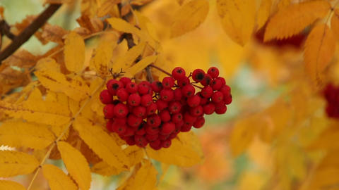 Bunch Of The Red And Yellow Leaves Of Mountain Ash stock footage