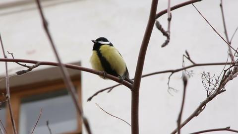 Bullfinch on a tree branch Stock Video Footage