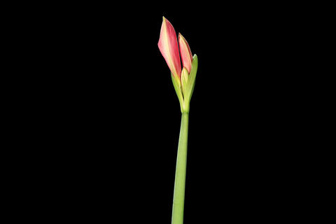 4K. Growth of red hippeastrum flower buds ALPHA ma Stock Video Footage