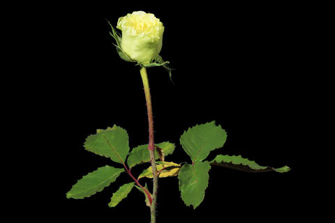 4K. Blooming green roses flower buds ALPHA matte Stock Video Footage