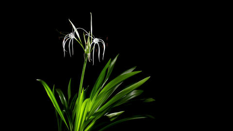 Time-lapse Opening white amaryllis (Amaryllis. Hym Stock Video Footage