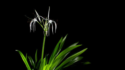 Time-lapse Opening white amaryllis (Amaryllis. Hym Stock Video Footage