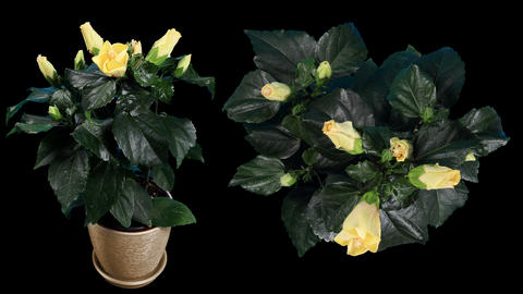 Blooming yellow Hibiscus flower buds ALPHA matte Stock Video Footage