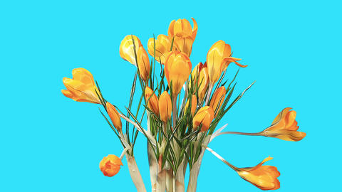Growth of yellow crocuses flower buds ALPHA matte Footage