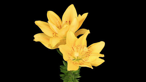 Flowering yellow lily on the black background (L Stock Video Footage