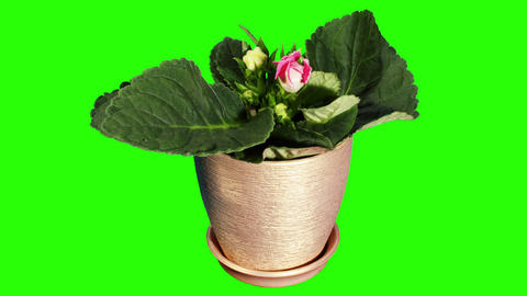 Growth of Gloxinia flower buds green screen, FULL Stock Video Footage