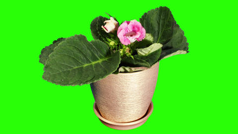 Growth of Gloxinia flower buds green screen, FULL Footage