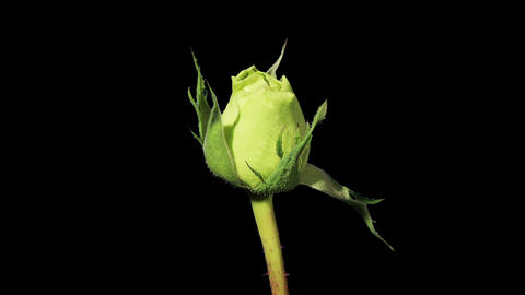 Blooming green roses flower buds ALPHA matte, FULL Stock Video Footage