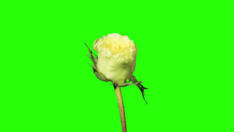 Blooming green roses flower buds green screen, FUL Footage