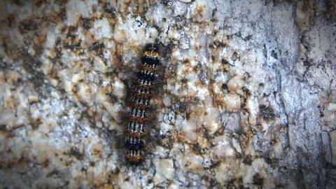 Crawling caterpillar Footage