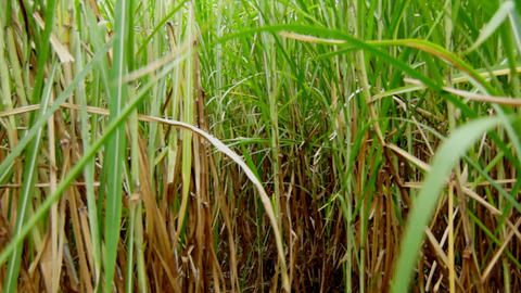 Walking through a field of Sugarcane Stock Video Footage