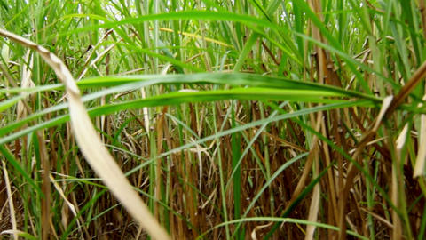 Walking through a field of Sugarcane Footage