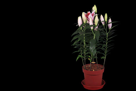 4K.Blooming pink lily flower buds ALPHA matte, FUL Stock Video Footage