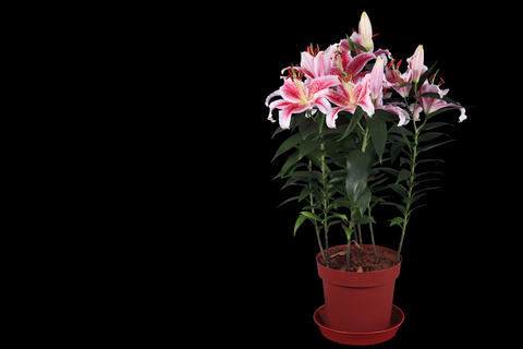 4K.Blooming pink lily flower buds ALPHA matte, FUL Footage