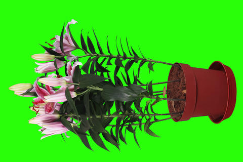 4K.Blooming pink lily flower buds green screen, FU Live Action
