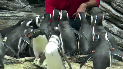 feeding magellanic penguins Stock Video Footage