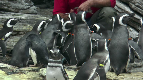 feeding magellanic penguins Stock Video Footage