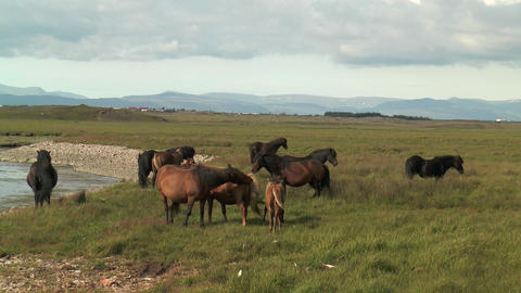 icelandic horses in green pasture Stock Video Footage