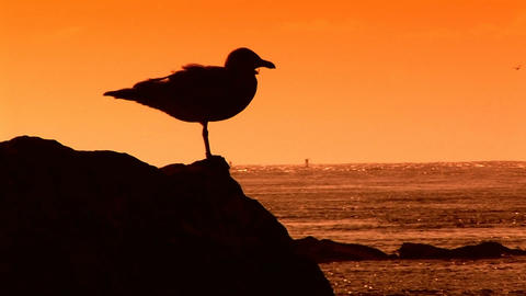 Seagull silhouette Stock Video Footage