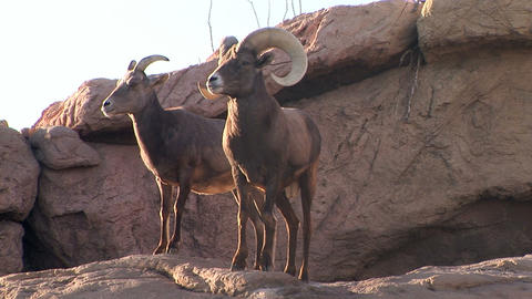 Bighorn Sheep Stock Video Footage
