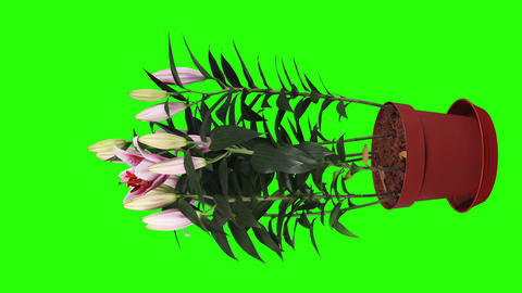 Blooming pink lily flower buds green screen, FULL Stock Video Footage